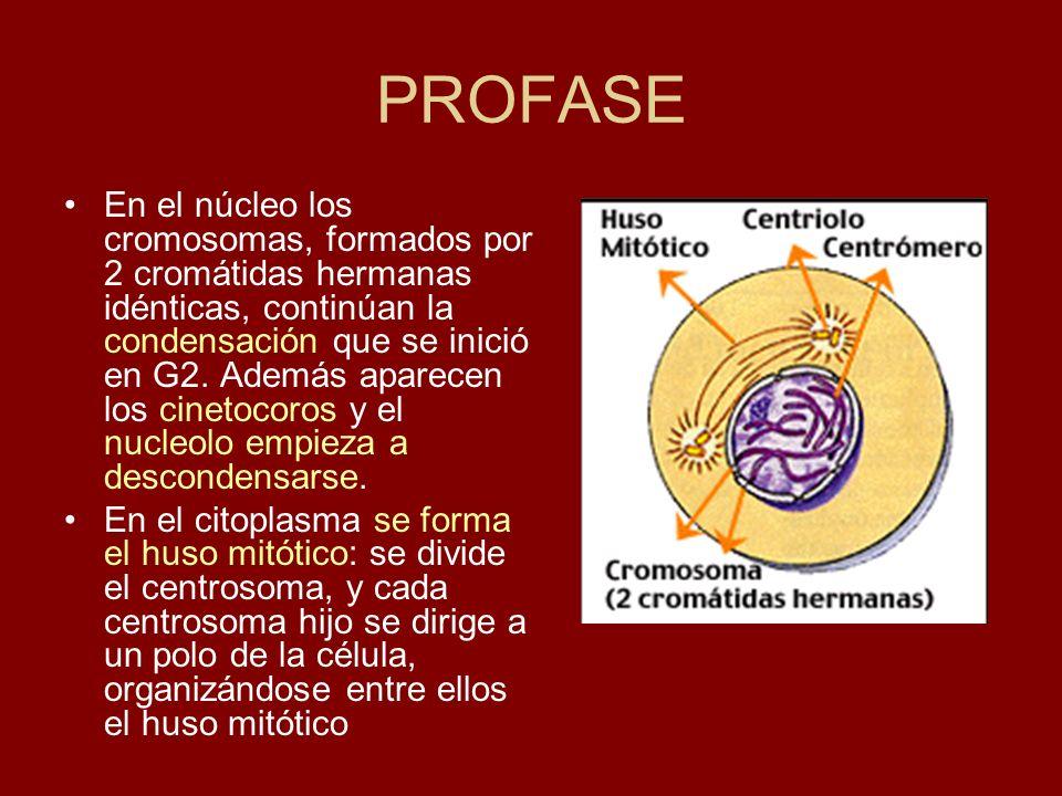 PROFASE En el núcleo los cromosomas, formados por 2 cromátidas hermanas idénticas, continúan la condensación que se inició en G2. Además aparecen los