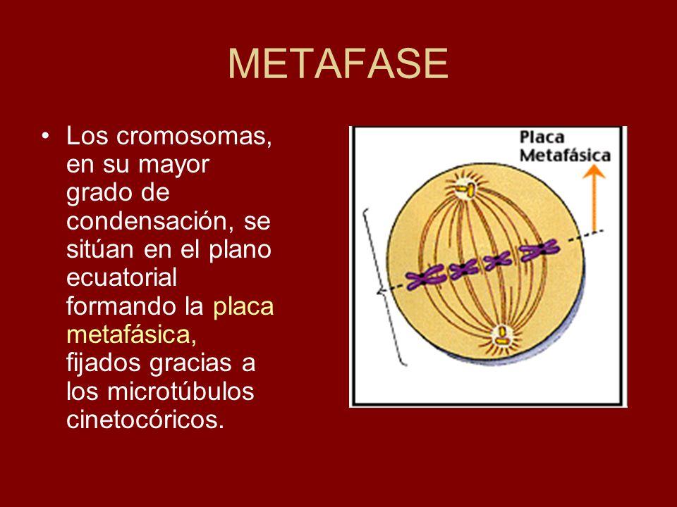 METAFASE Los cromosomas, en su mayor grado de condensación, se sitúan en el plano ecuatorial formando la placa metafásica, fijados gracias a los micro