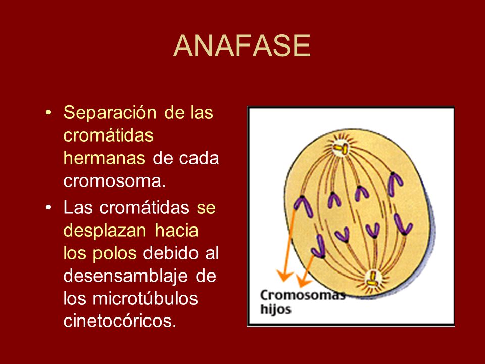 ANAFASE Separación de las cromátidas hermanas de cada cromosoma. Las cromátidas se desplazan hacia los polos debido al desensamblaje de los microtúbul