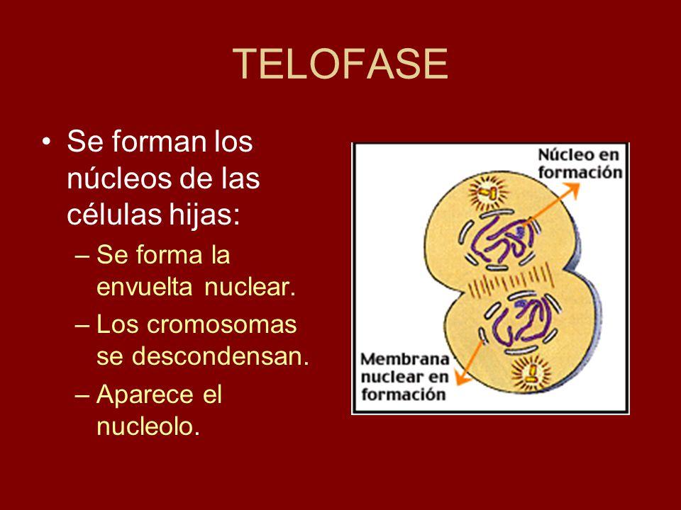 TELOFASE Se forman los núcleos de las células hijas: –Se forma la envuelta nuclear. –Los cromosomas se descondensan. –Aparece el nucleolo.