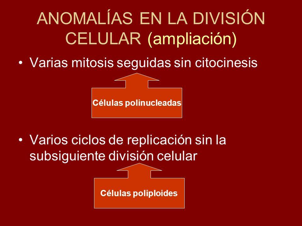 ANOMALÍAS EN LA DIVISIÓN CELULAR (ampliación) Varias mitosis seguidas sin citocinesis Varios ciclos de replicación sin la subsiguiente división celula