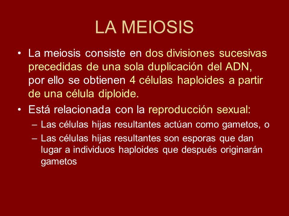 La meiosis consiste en dos divisiones sucesivas precedidas de una sola duplicación del ADN, por ello se obtienen 4 células haploides a partir de una c