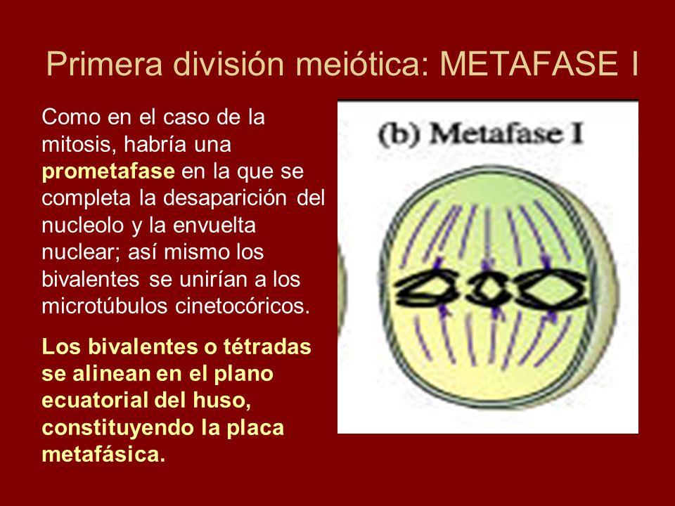 Primera división meiótica: METAFASE I Como en el caso de la mitosis, habría una prometafase en la que se completa la desaparición del nucleolo y la en