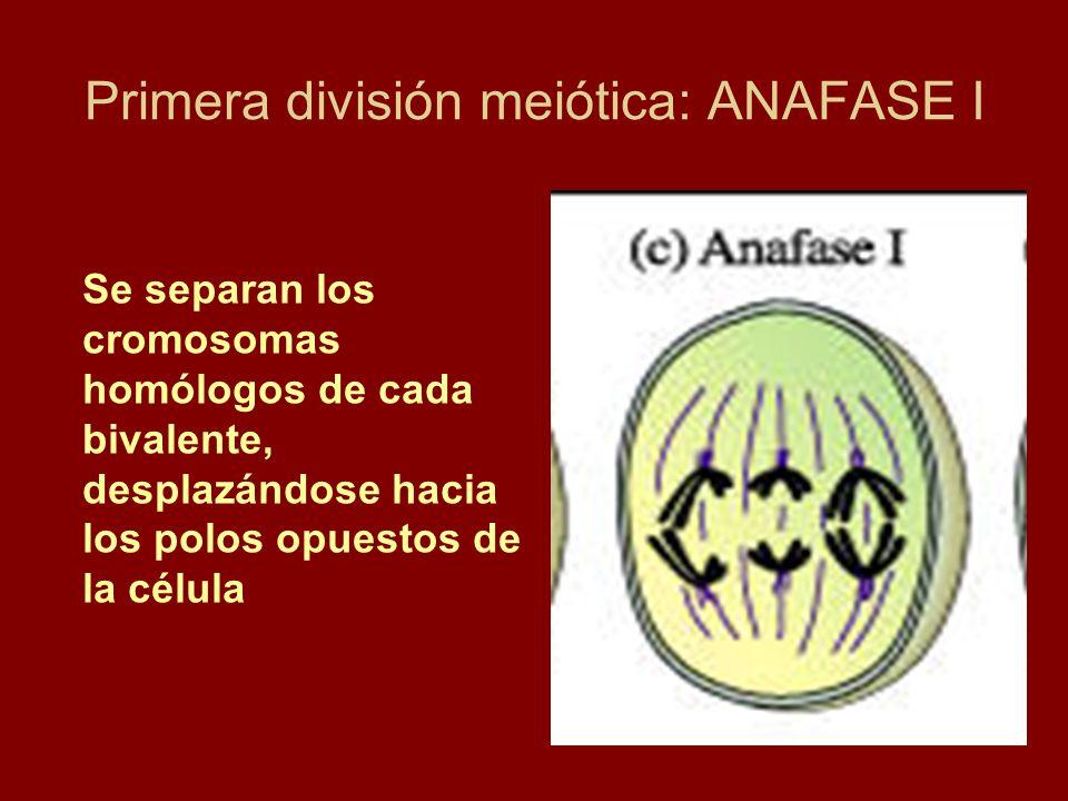 Primera división meiótica: ANAFASE I Se separan los cromosomas homólogos de cada bivalente, desplazándose hacia los polos opuestos de la célula