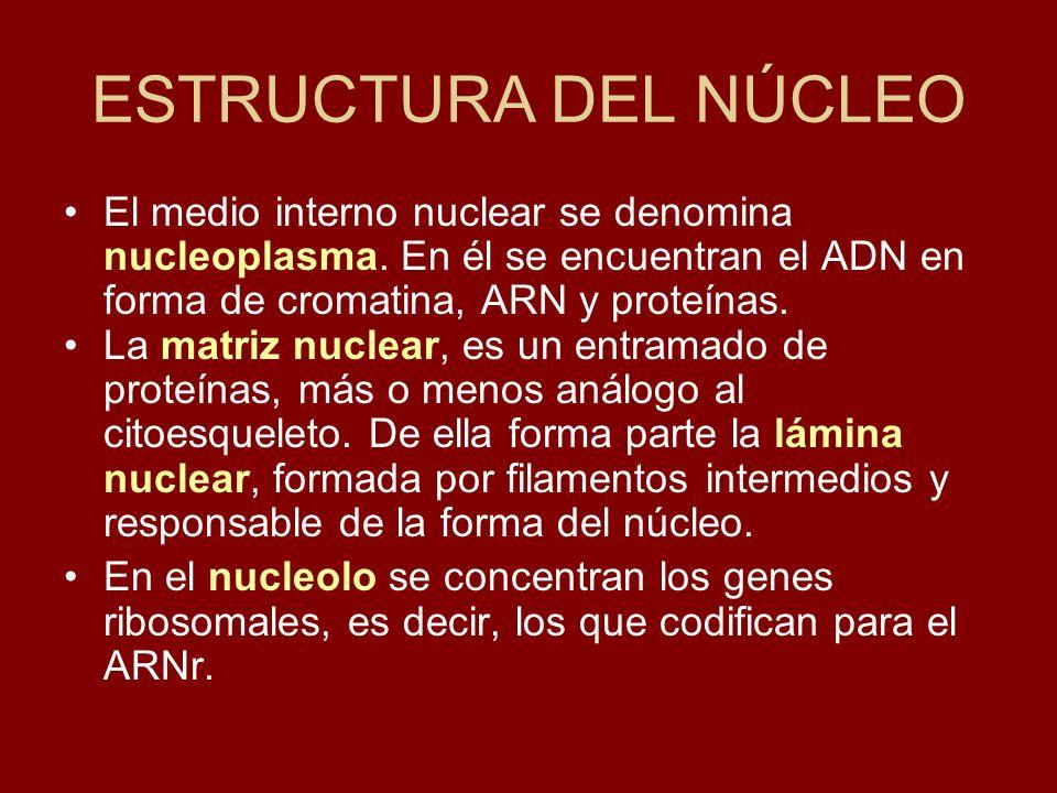 ESTRUCTURA DEL NÚCLEO El medio interno nuclear se denomina nucleoplasma. En él se encuentran el ADN en forma de cromatina, ARN y proteínas. La matriz