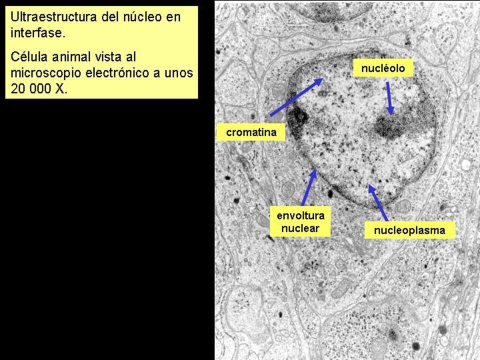 ¿En qué fase se encuentran las siguientes células?