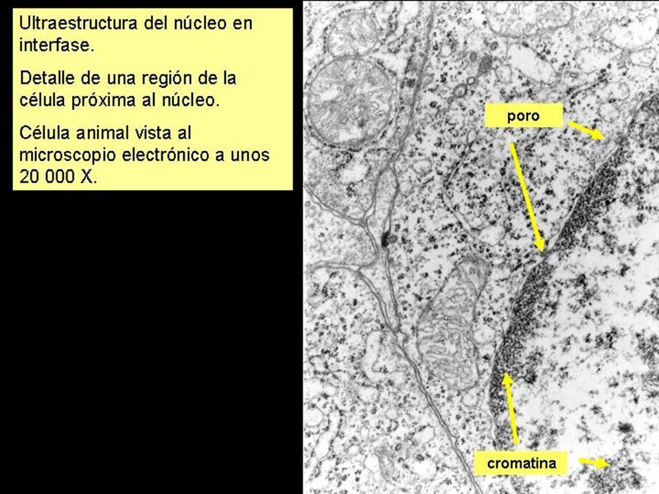 ESTRUCTURA DEL NÚCLEO: POROS NUCLEARES Poseen una compleja estructura de ojal: Están formados por unas proteínas llamadas nuceloporinas.