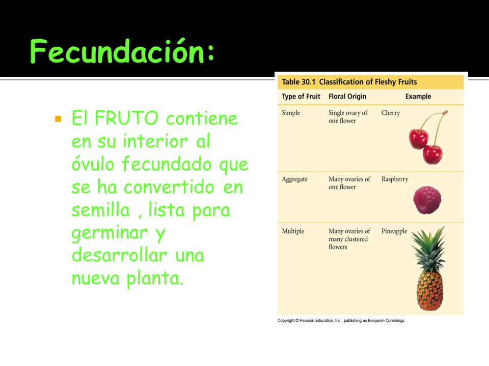 El FRUTO contiene en su interior al óvulo fecundado que se ha convertido en semilla, lista para germinar y desarrollar una nueva planta.