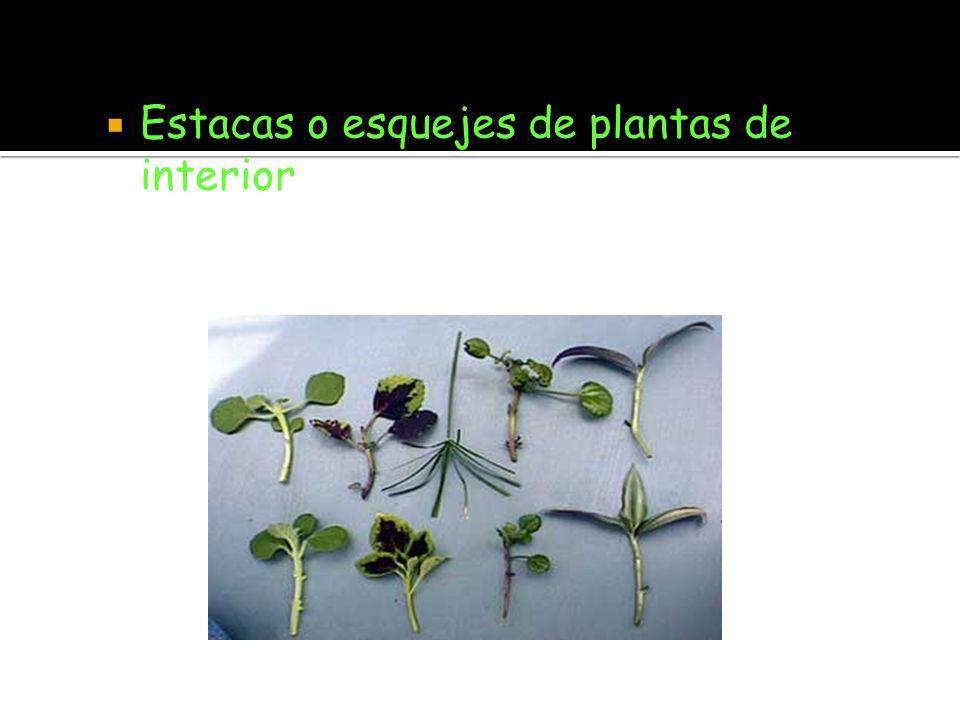 Estacas o esquejes de plantas de interior