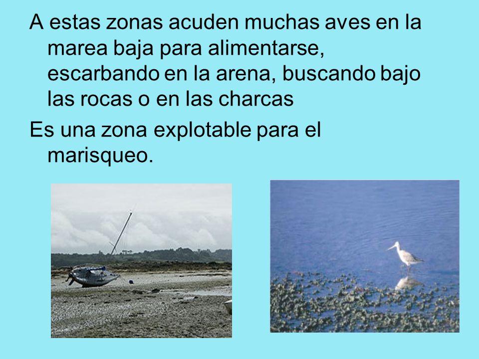 A estas zonas acuden muchas aves en la marea baja para alimentarse, escarbando en la arena, buscando bajo las rocas o en las charcas Es una zona explo