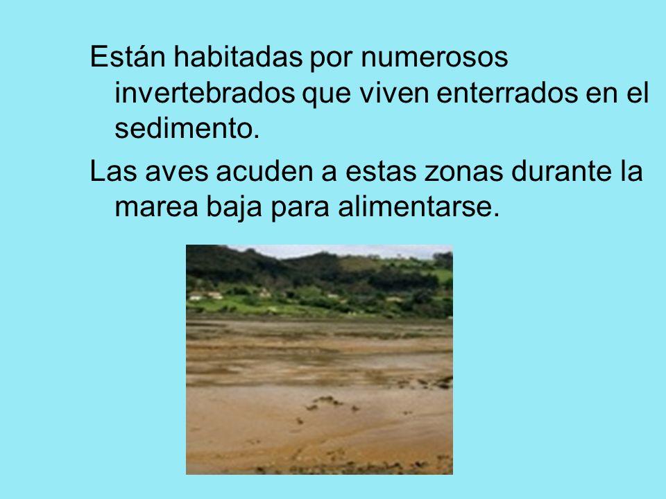 Están habitadas por numerosos invertebrados que viven enterrados en el sedimento. Las aves acuden a estas zonas durante la marea baja para alimentarse