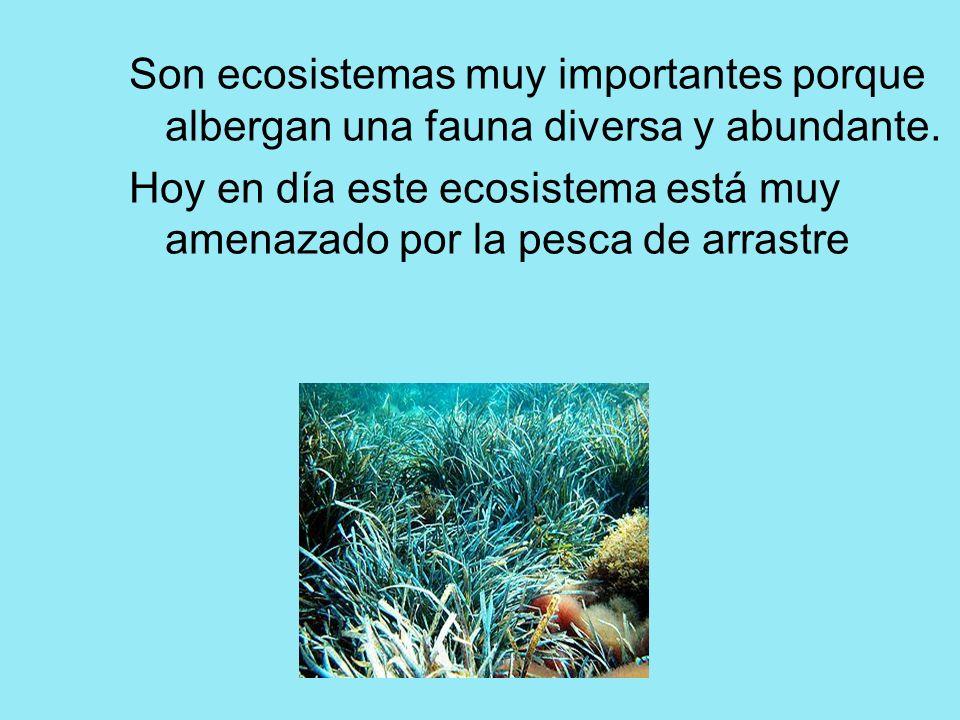 Son ecosistemas muy importantes porque albergan una fauna diversa y abundante. Hoy en día este ecosistema está muy amenazado por la pesca de arrastre