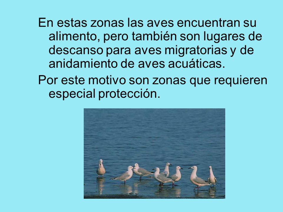 En estas zonas las aves encuentran su alimento, pero también son lugares de descanso para aves migratorias y de anidamiento de aves acuáticas. Por est