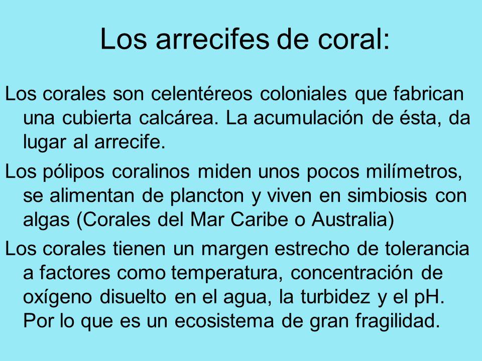 Los arrecifes de coral: Los corales son celentéreos coloniales que fabrican una cubierta calcárea. La acumulación de ésta, da lugar al arrecife. Los p