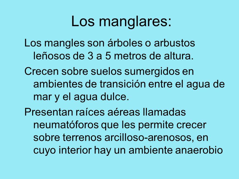Los manglares: Los mangles son árboles o arbustos leñosos de 3 a 5 metros de altura. Crecen sobre suelos sumergidos en ambientes de transición entre e