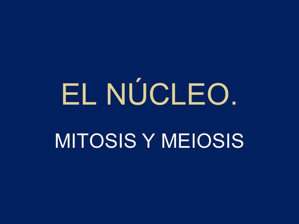 CICLOS VITALES –Haplodiplonte: un individuo adulto diploide origina por meiosis esporas que por mitosis dan lugar a un individuo haploide.