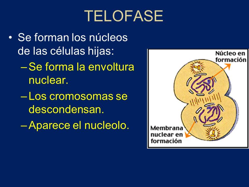 TELOFASE Se forman los núcleos de las células hijas: –Se forma la envoltura nuclear. –Los cromosomas se descondensan. –Aparece el nucleolo.