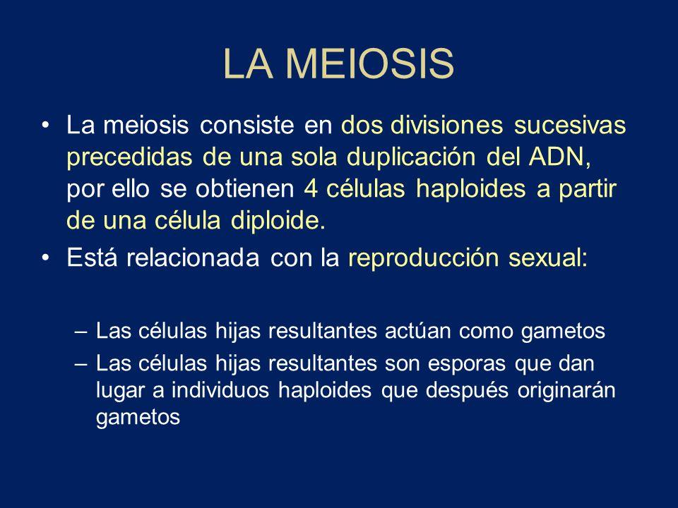 LA MEIOSIS La meiosis consiste en dos divisiones sucesivas precedidas de una sola duplicación del ADN, por ello se obtienen 4 células haploides a part