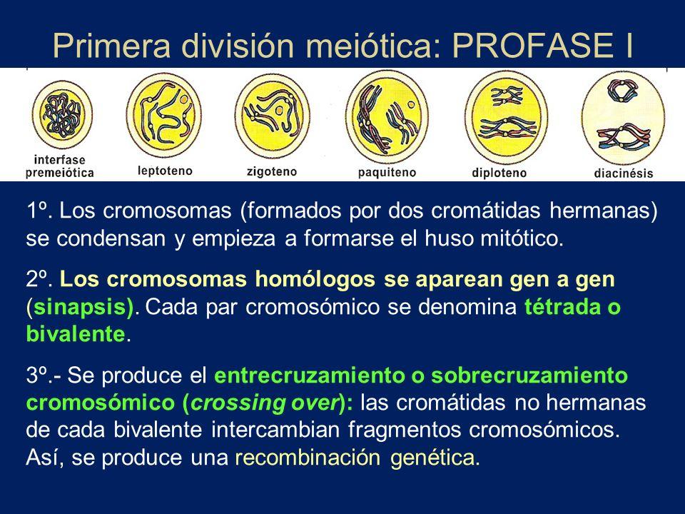 Primera división meiótica: PROFASE I 1º. Los cromosomas (formados por dos cromátidas hermanas) se condensan y empieza a formarse el huso mitótico. 2º.