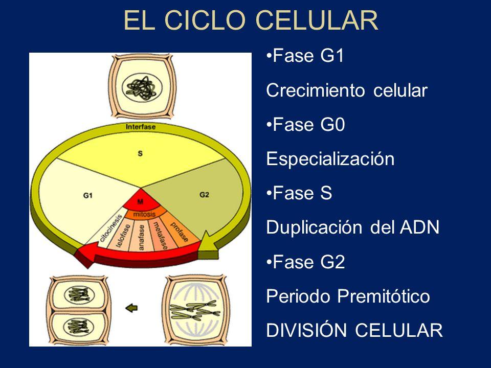 EL CICLO CELULAR Fase G1 Crecimiento celular Fase G0 Especialización Fase S Duplicación del ADN Fase G2 Periodo Premitótico DIVISIÓN CELULAR