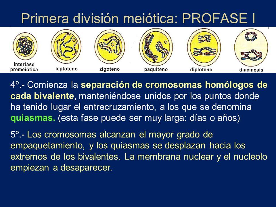Primera división meiótica: PROFASE I 4º.- Comienza la separación de cromosomas homólogos de cada bivalente, manteniéndose unidos por los puntos donde