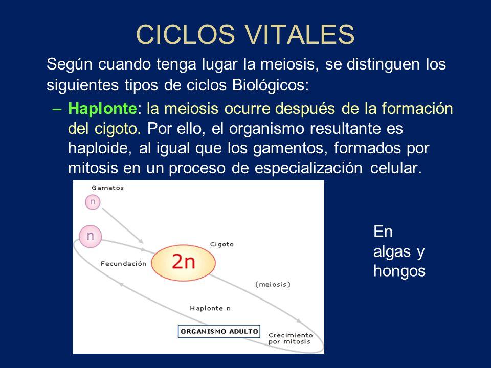 CICLOS VITALES Según cuando tenga lugar la meiosis, se distinguen los siguientes tipos de ciclos Biológicos: –Haplonte: la meiosis ocurre después de l