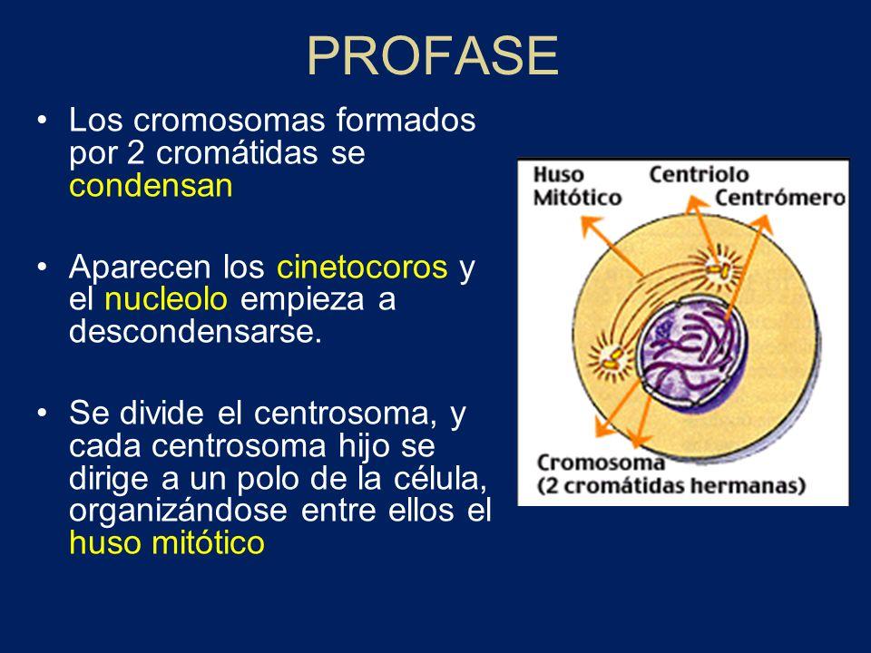 PROFASE Los cromosomas formados por 2 cromátidas se condensan Aparecen los cinetocoros y el nucleolo empieza a descondensarse. Se divide el centrosoma