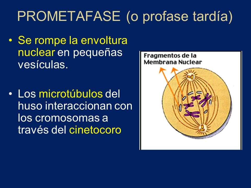 PROMETAFASE (o profase tardía) Se rompe la envoltura nuclear en pequeñas vesículas. Los microtúbulos del huso interaccionan con los cromosomas a travé