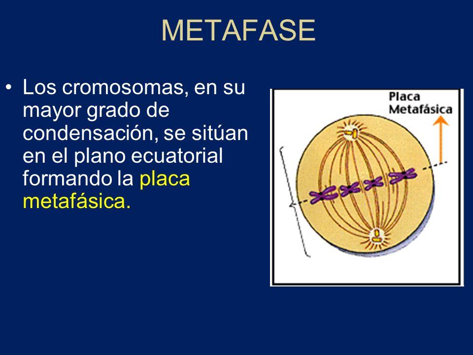 Primera división meiótica: PROFASE I 1º.