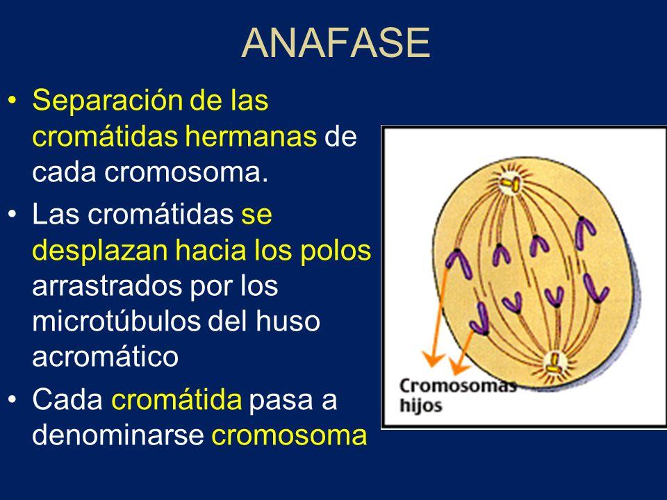 ANAFASE Separación de las cromátidas hermanas de cada cromosoma. Las cromátidas se desplazan hacia los polos arrastrados por los microtúbulos del huso