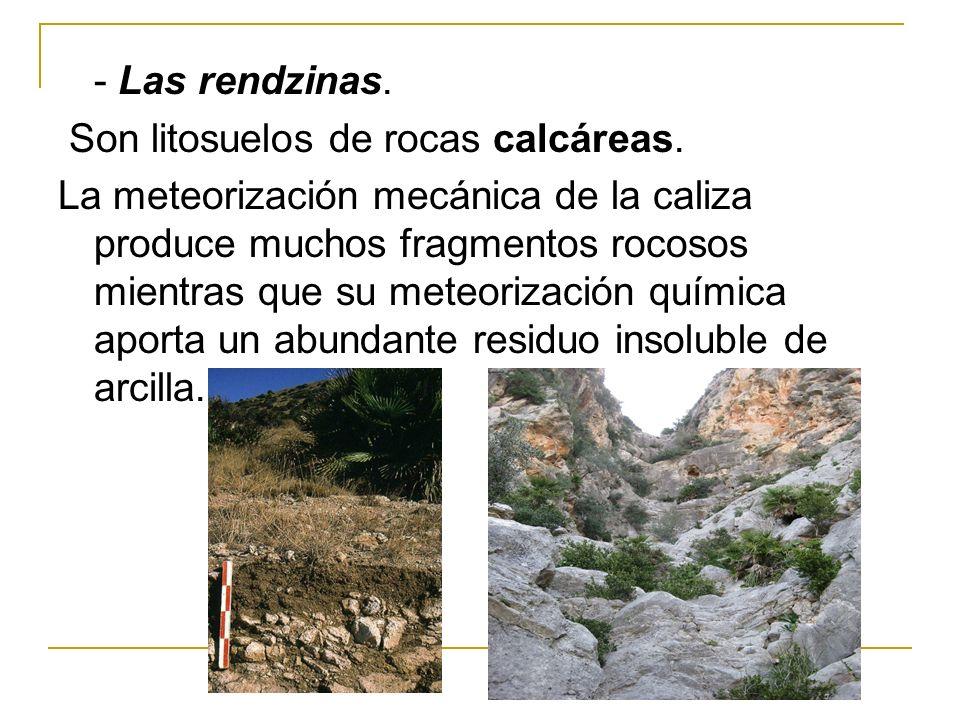 - Las rendzinas. Son litosuelos de rocas calcáreas. La meteorización mecánica de la caliza produce muchos fragmentos rocosos mientras que su meteoriza