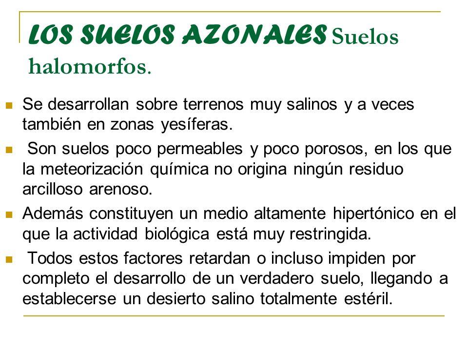 LOS SUELOS AZONALES Suelos halomorfos. Se desarrollan sobre terrenos muy salinos y a veces también en zonas yesíferas. Son suelos poco permeables y po