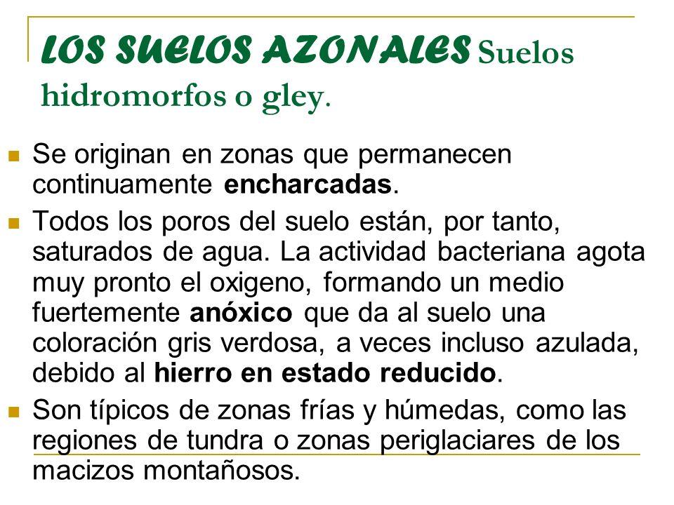 LOS SUELOS AZONALES Suelos hidromorfos o gley. Se originan en zonas que permanecen continuamente encharcadas. Todos los poros del suelo están, por tan