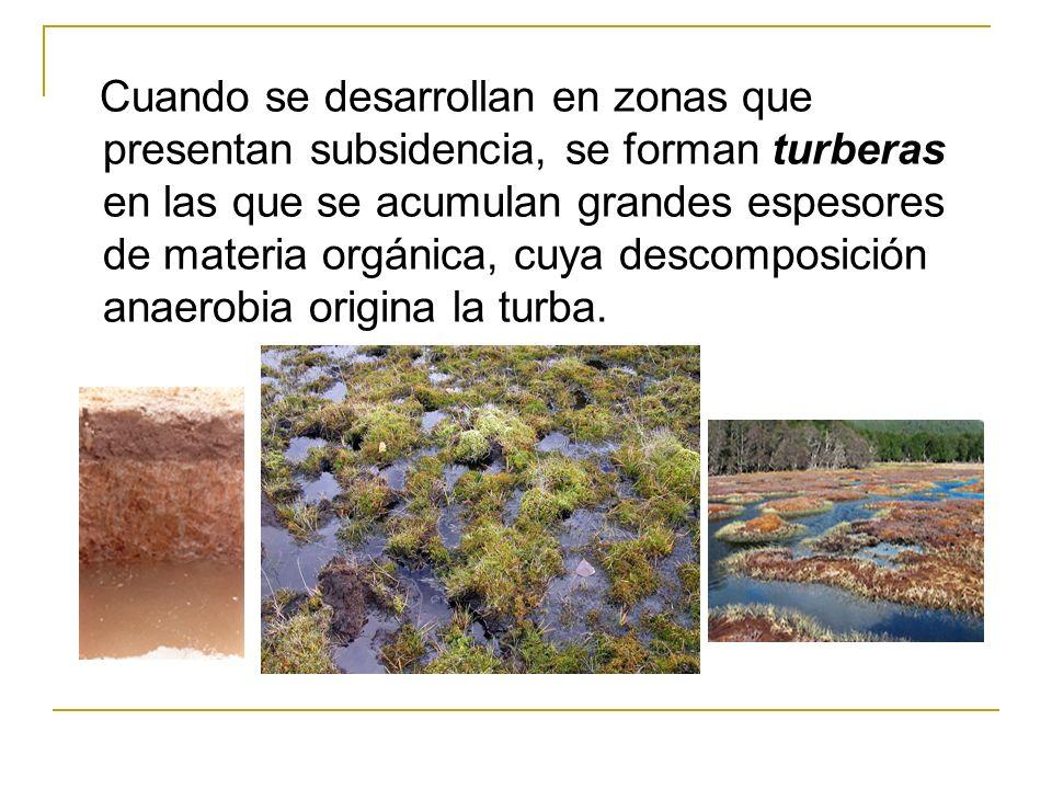 Cuando se desarrollan en zonas que presentan subsidencia, se forman turberas en las que se acumulan grandes espesores de materia orgánica, cuya descom