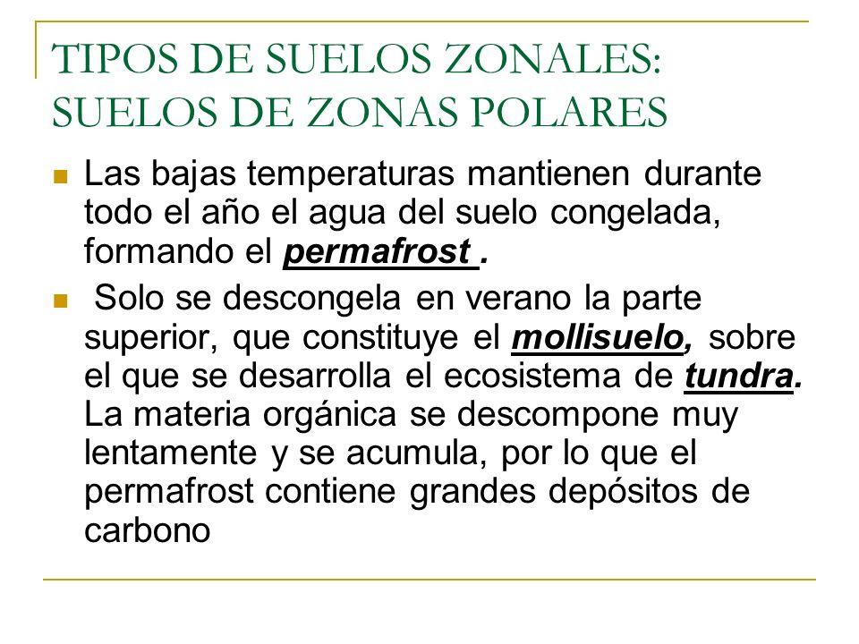 TIPOS DE SUELOS ZONALES: SUELOS DE ZONAS POLARES Las bajas temperaturas mantienen durante todo el año el agua del suelo congelada, formando el permafr