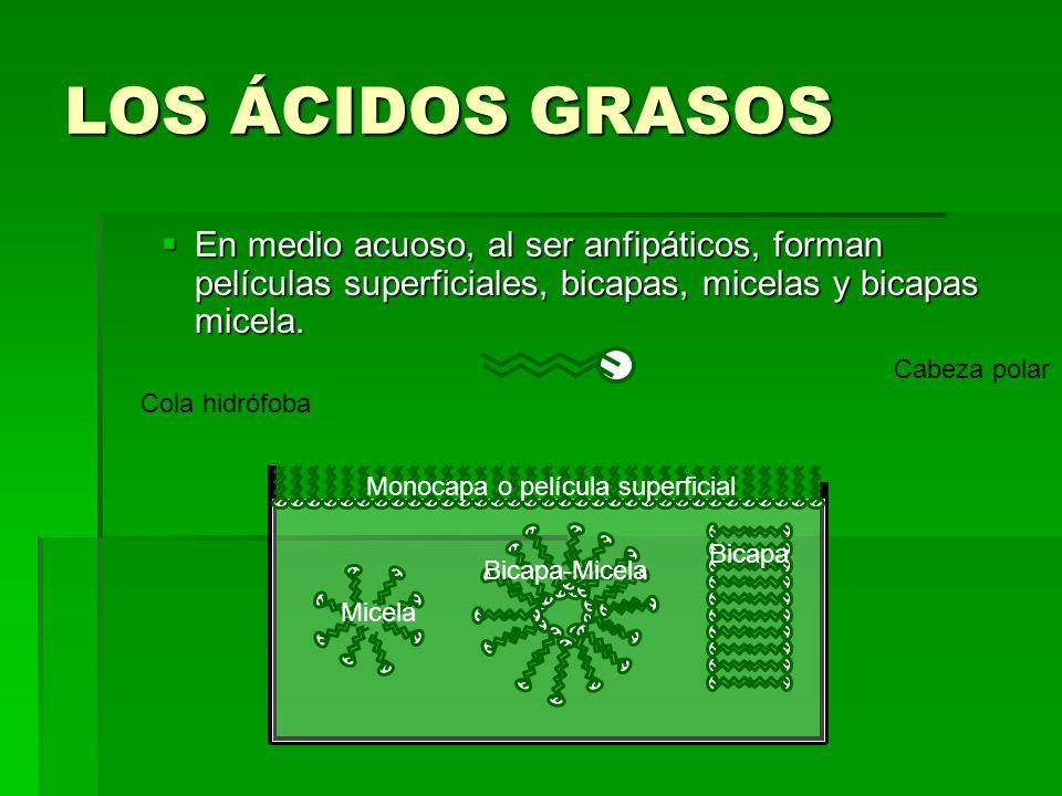 LOS ÁCIDOS GRASOS En medio acuoso, al ser anfipáticos, forman películas superficiales, bicapas, micelas y bicapas micela. En medio acuoso, al ser anfi