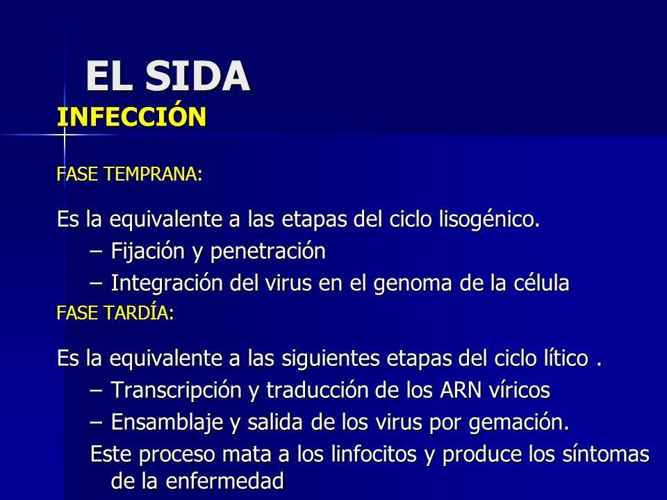 INFECCIÓN FASE TEMPRANA: Es la equivalente a las etapas del ciclo lisogénico. –Fijación y penetración –Integración del virus en el genoma de la célula