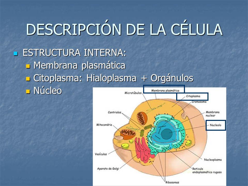 DESCRIPCIÓN DE LA CÉLULA ESTRUCTURA INTERNA: ESTRUCTURA INTERNA: Membrana plasmática Membrana plasmática Citoplasma: Hialoplasma + Orgánulos Citoplasm