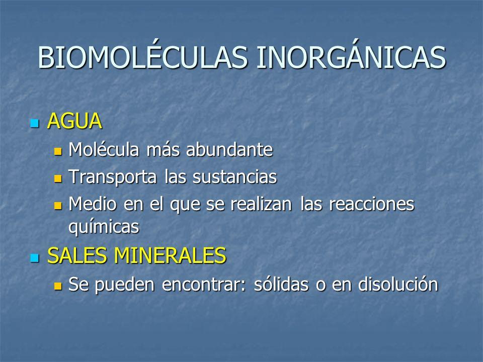 BIOMOLÉCULAS INORGÁNICAS AGUA AGUA Molécula más abundante Molécula más abundante Transporta las sustancias Transporta las sustancias Medio en el que s