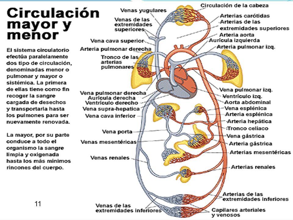 18 APARATO CIRCULATORIO OXÍGENO A CÉLULAS RECOGER DIÓXIDO DE CARBONO NUTRICIÓN A ÓRGANOS Y TEJIDOS ARRASTRAR PRODUCTOS DE DESECHO DEFENSA CONTRA MICRO