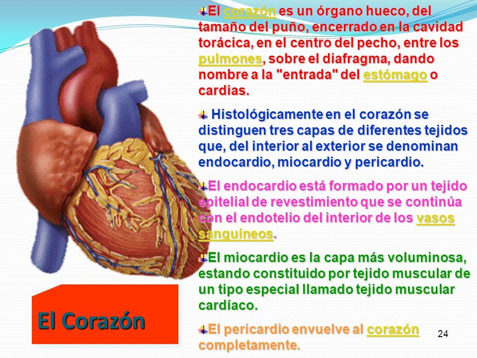 23 El corazón y los capilares sanguíneos Como una bomba, el corazón impulsa la sangre por todo el organismo, realizando su trabajo en fases sucesivas.