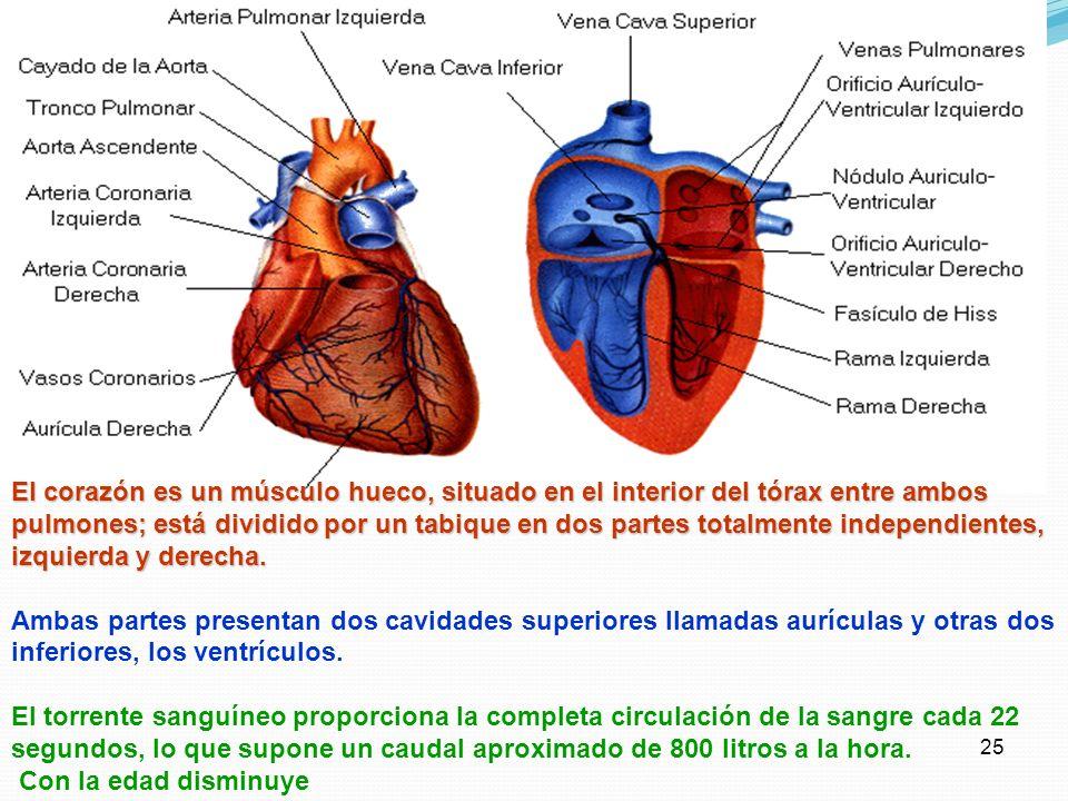 24 El Corazón El corazón es un órgano hueco, del tamaño del puño, encerrado en la cavidad torácica, en el centro del pecho, entre los pulmones, sobre
