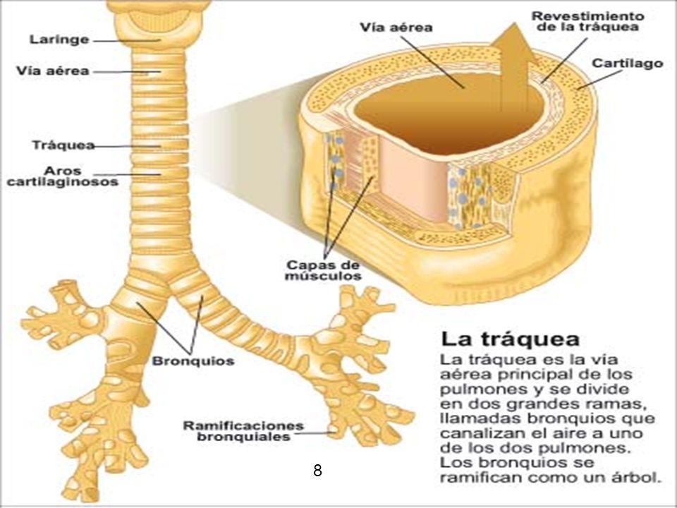 13 La tráquea La tráquea es un tubo formado por unos veinte anillos cartilaginosos que la mantienen siempre abierta, se divide en dos ramas: los bronquios.