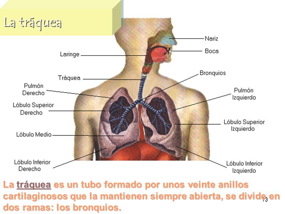 13 La tráquea La tráquea es un tubo formado por unos veinte anillos cartilaginosos que la mantienen siempre abierta, se divide en dos ramas: los bronq