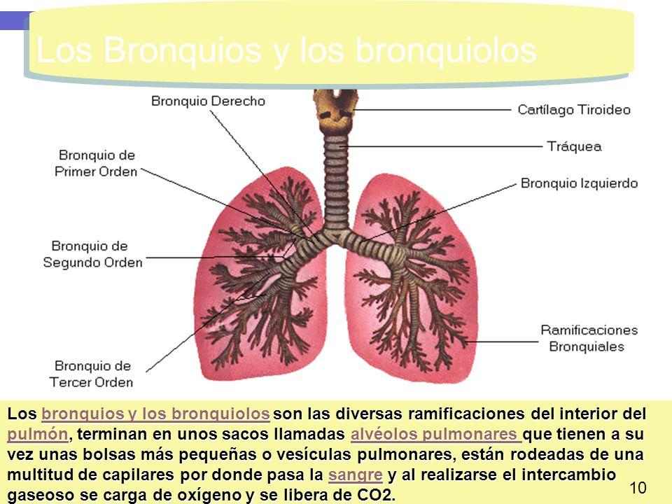 14 Los Bronquios y los bronquiolos Los bronquios y los bronquiolos son las diversas ramificaciones del interior del pulmón, terminan en unos sacos lla