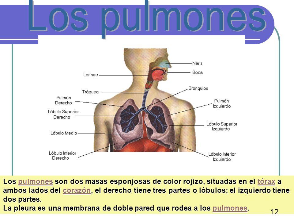 16 Los pulmones son dos masas esponjosas de color rojizo, situadas en el tórax a ambos lados del corazón, el derecho tiene tres partes o lóbulos; el i