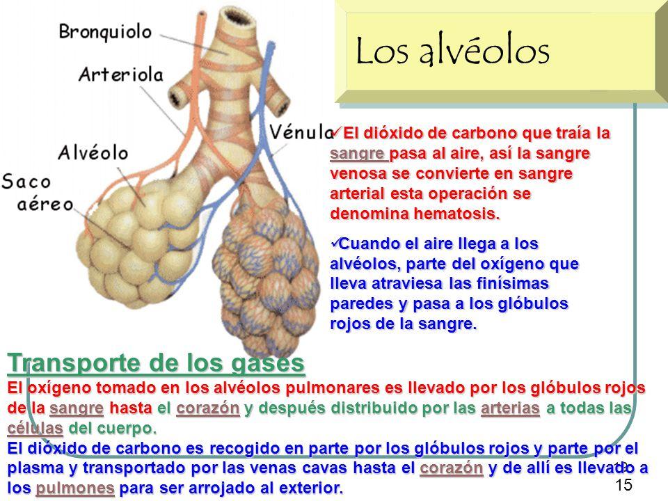 19 Los alvéolos El dióxido de carbono que traía la sangre pasa al aire, así la sangre venosa se convierte en sangre arterial esta operación se denomin
