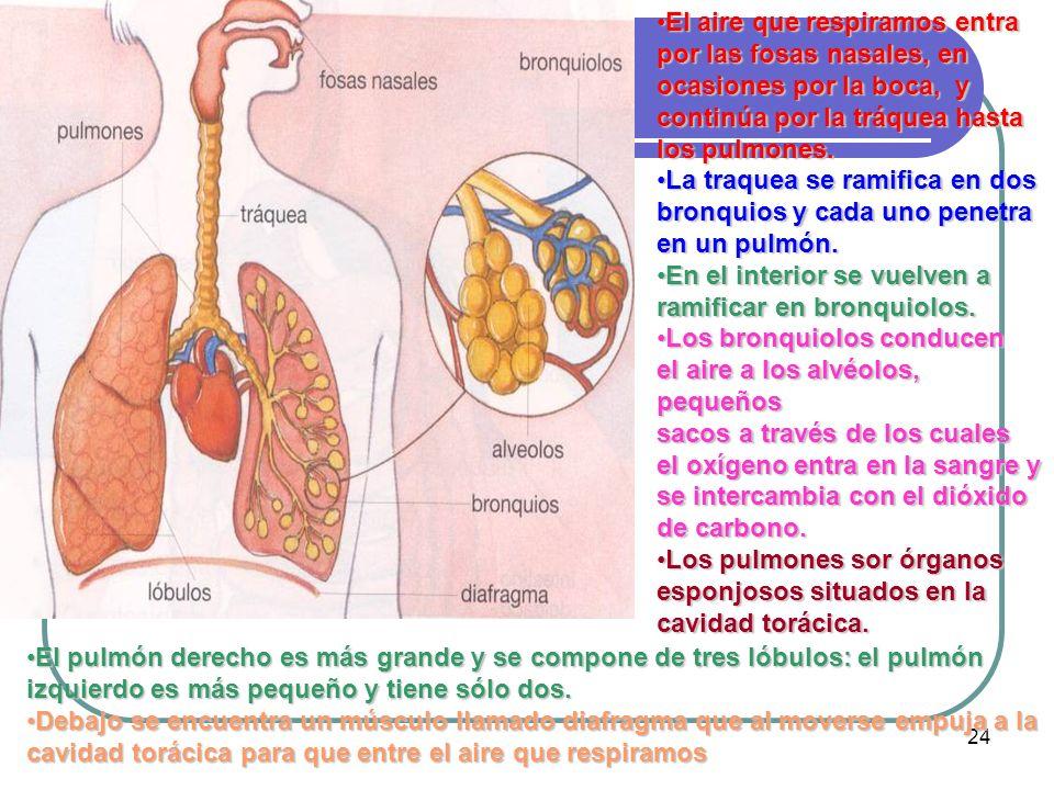 24 El aire que respiramos entra por las fosas nasales, en ocasiones por la boca, y continúa por la tráquea hasta los pulmones.El aire que respiramos e