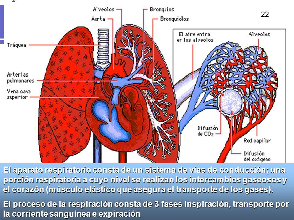 26 El aparato respiratorio consta de un sistema de vías de conducción; una porción respiratoria a cuyo nivel se realizan los intercambios gaseosos y e