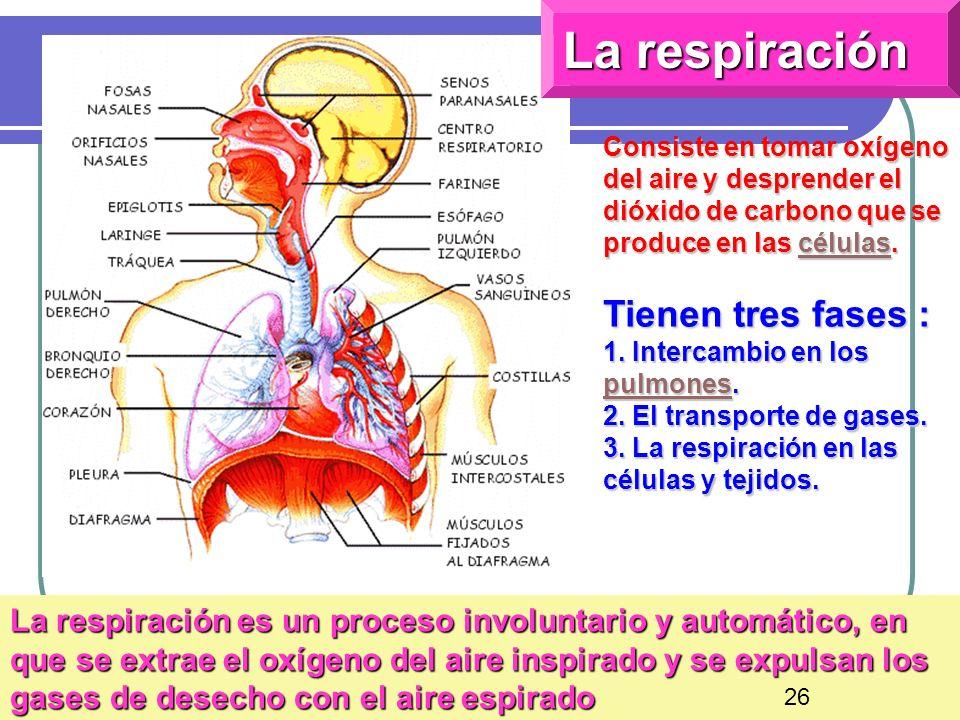 30 La respiración Consiste en tomar oxígeno del aire y desprender el dióxido de carbono que se produce en las células. células Tienen tres fases : 1.